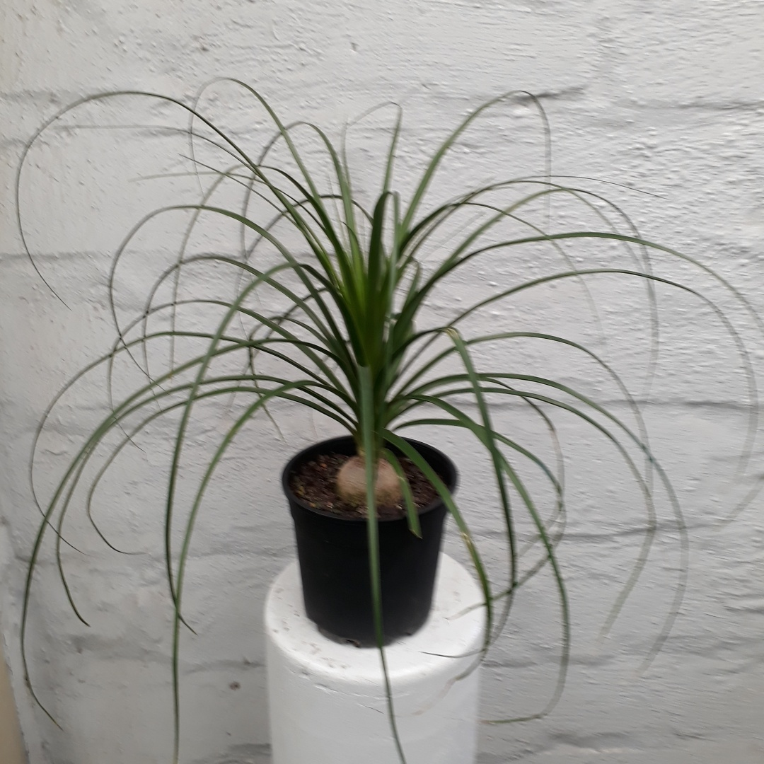 Beaucarnea recurvata - Ponytail Palm
