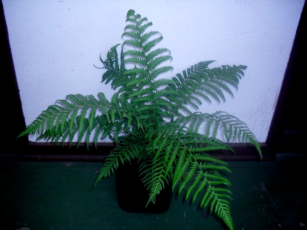 Dicksonia antarctica - Soft Tree Fern