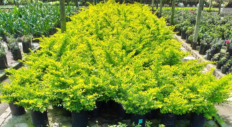 Duranta erecta Gold