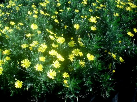 Euryops pectinatus - Golden Daisy