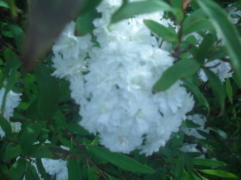 Spiraea cantoniensis - Cape Mayflower